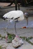Wood Stork Royalty Free Stock Photography