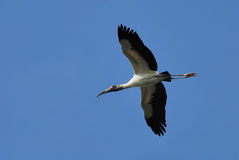 Wood stork. Big wood stork flying over Royalty Free Stock Photography