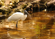 Free Wood Stork Stock Photography - 4751852