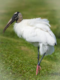 Wood Stork Arkivbilder