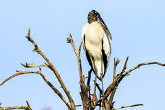 Wood Stork royaltyfri fotografi