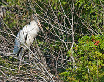 Wood Stork Stock Image