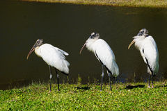 Wood Stork Royalty Free Stock Images