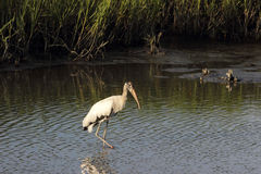 Wood Stork A Stock Images