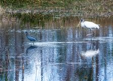 Free Wood Stork And A Little Blue Heron Playing Follow The Leader Stock Image - 135586031