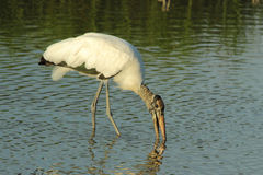 Wood Stork B Royalty Free Stock Photography