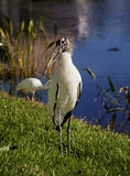 Wood stork on a background of green grass. Nature background Royalty Free Stock Images