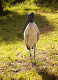 Wood stork on a background of green grass. Nature background.Sunny day Royalty Free Stock Image