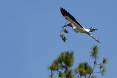 Wood stork carrying a branch in its bill in Florida. Royalty Free Stock Images