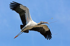 Wood Stork Carrying Nest Material Royalty Free Stock Images
