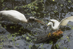 Wood stork chasing a snowy egret in the Florida everglades. Snowy egret, Egretta thula, perched on a log while a nearby wood stork attacks with its bill in the Royalty Free Stock Image