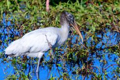 Wood Stork Circle B Ranch. Wood Stork wading at circle B reserve in daytime looking for food Royalty Free Stock Images