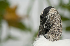 Wood Stork Stock Photos