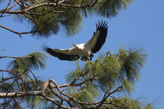 Wood stork coming in for a landing in central Florida. Royalty Free Stock Photos