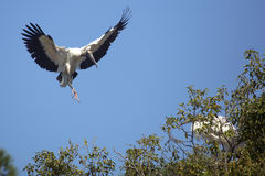 Wood stork coming in for a landing in central Florida. Royalty Free Stock Photo