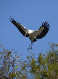 Wood stork coming in for a landing in central Florida. Stock Image