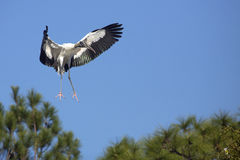 Wood stork coming in for a landing in central Florida. Royalty Free Stock Images
