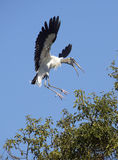 Wood stork coming in for a landing in central Florida. Stock Images