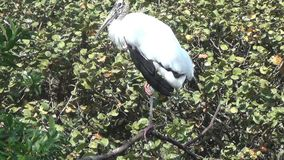 Florida wood stork. Wood stork commonly seen in the Florida Everglades stock video