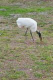 A wood stork is eating chicken bone Royalty Free Stock Photo