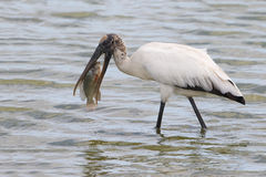 Wood Stork Eating a Tilapia - Florida Stock Photo