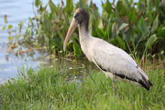 Wood Stork at the Edge of a Florida Pond stock photo