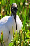 Wood stork facing camera Royalty Free Stock Photos
