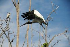 Wood Stork Flies in Treetops Stock Photos