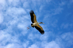 Wood Stork in flight. A woodstork flys, wings outspread in a lightly clouded sky. The woodstork is the only native american stork royalty free stock photo