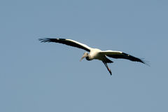 Wood stork in flight Royalty Free Stock Photos