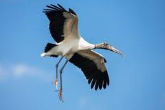Wood Stork in Flight Stock Images