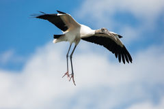 Wood Stork. A wood stork in flight at gatorland rookery Royalty Free Stock Photos