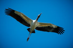 Wood Stork Flying Stock Photography