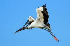 Wood stork flying in blue sky Royalty Free Stock Photos