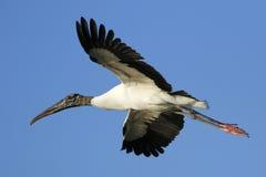 Wood stork flying in blue sky Stock Photo