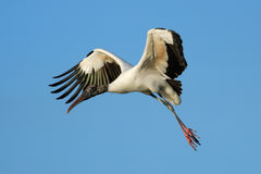 Wood stork flying in blue sky Royalty Free Stock Images