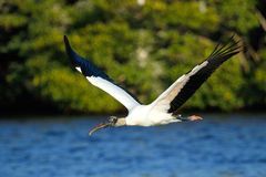 Wood stork flying low above water stock photos