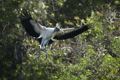 Wood stork, flying with nesting material in its bill, Florida. Stock Image