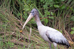 Wood Stork in the Grass Stock Photo