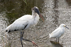 Wood Stork in the Grass Royalty Free Stock Photography