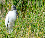 Wood Stork in Grass Royalty Free Stock Image