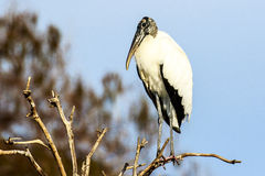 Wood Stork at Green Cay Wetlands Stock Photo