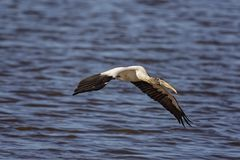 Wood Stork. Hunting on salt marshes in Big Talbot Island royalty free stock photos