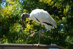 Wood stork i Florida royaltyfri foto