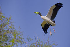 Free Wood Stork In Flight With Nesting Material Stock Photography - 33099262