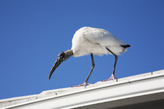 Wood stork landed on the roof Royalty Free Stock Photography