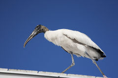 Wood stork landed on the roof Royalty Free Stock Photos