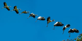 Wood Stork Landing Stock Image