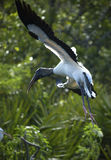 Wood stork landing in shrubs, wings outspread, Florida. Stock Photo