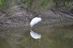 A wood stork finds a good fishing spot in the Greenway on Amelia Island, Florida. The wood stork is a large American wading bird in the stork family Ciconiidae stock images